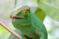 Caméléon Madagascar