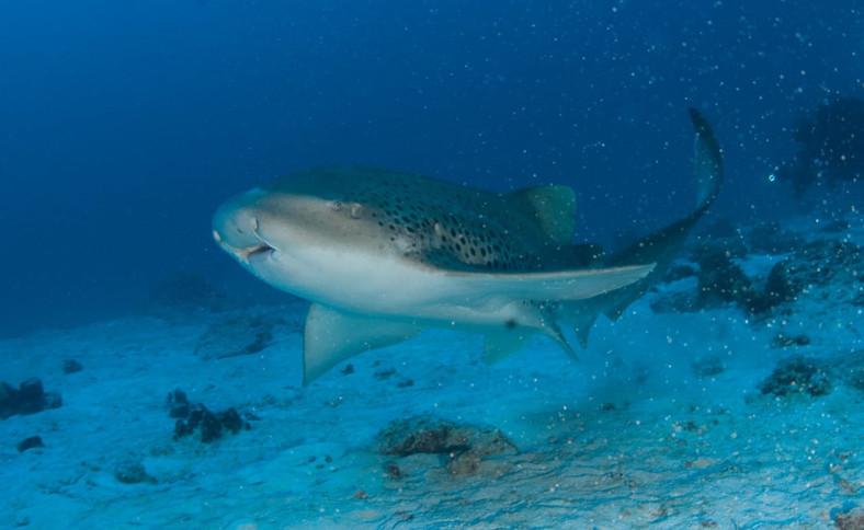 requin leopard1.JPG