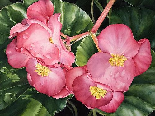 Morning Begonia