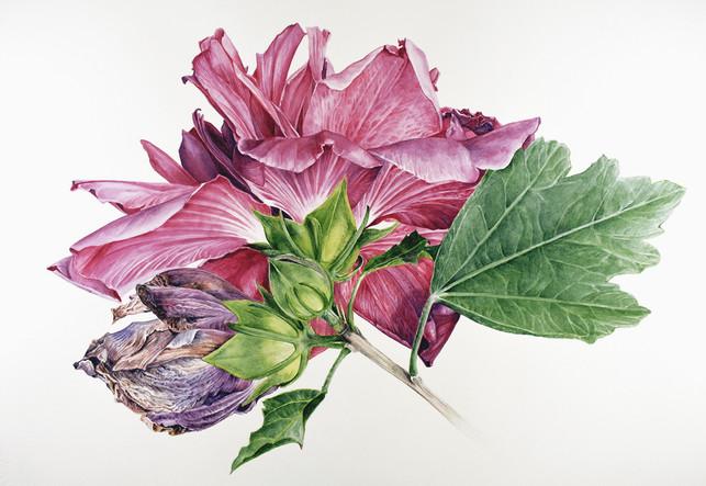 Hibiscus syriacus 'Amplissimus'