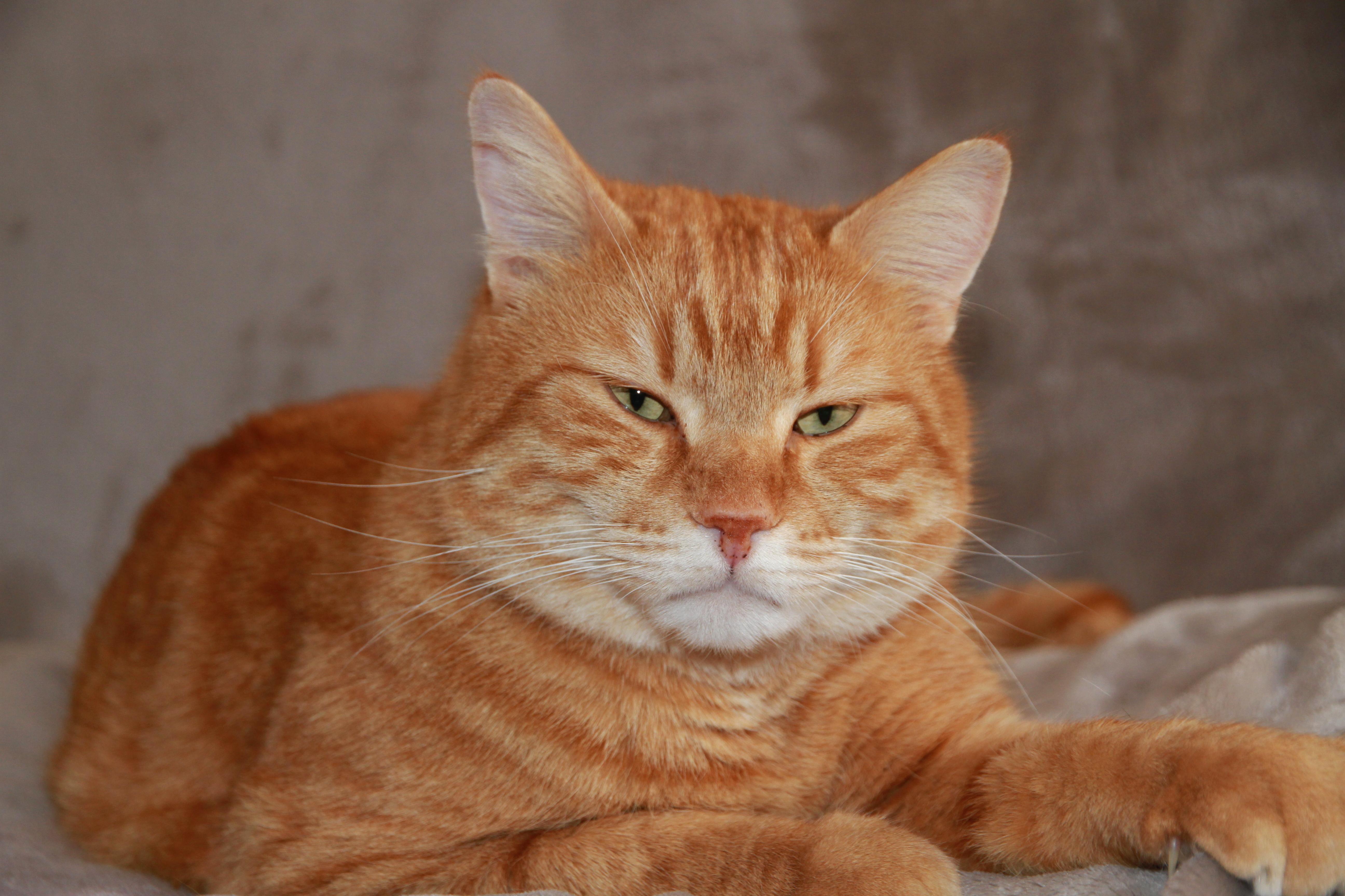 Le chat Caramel