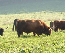 Dozer as a mature bull