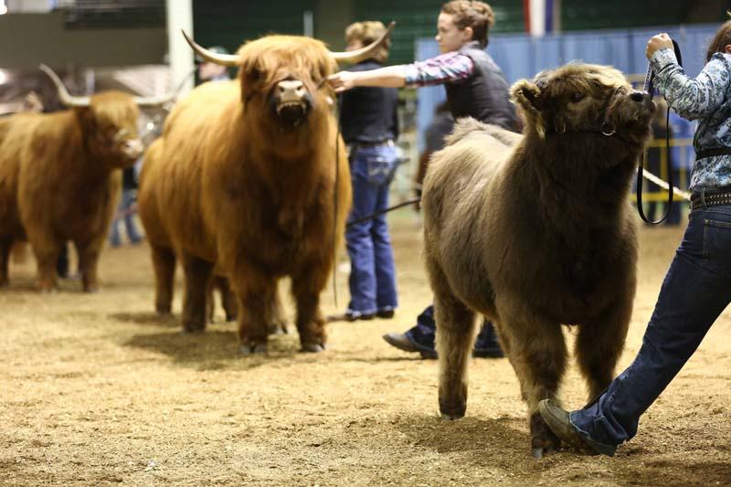 Cow/calf Lineup