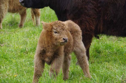 Maelstrom calf