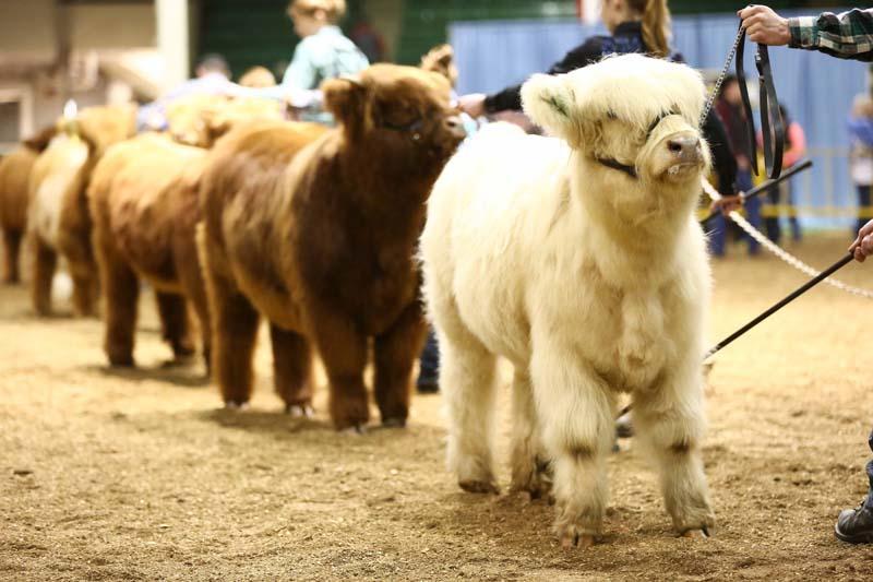 April heifer lineup