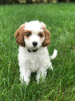 White Cavapoo Puppy  | Chris Martin Puppies | Puppies by Chris Martin