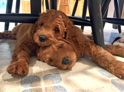 Mini Goldendoodle Puppies  | Chris Martin Puppies | Puppies by Chris Martin