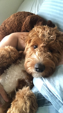 Mini Goldendoodle Dog  | Chris Martin Puppies | Puppies by Chris Martin