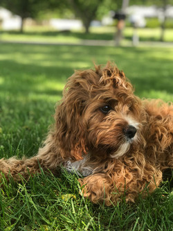 Cavapoo Puppy | Chris Martin Puppies | Puppies by Chris Martin