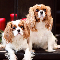 Daisy and Kasia Cavalier King Charles Spaniel | Chris Martin Puppies | Puppies by Chris Martin