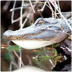 Alligator and crocodile collection