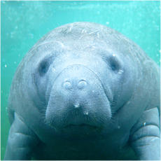 Manatee collection