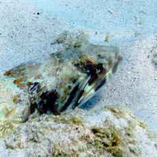 Lizardfish and sand diver collection