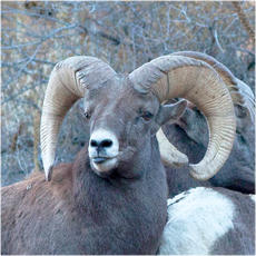 Bighorn sheep collection