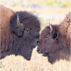 Bison collection