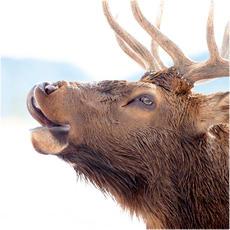 Elk collection
