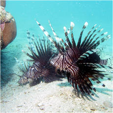 Lionfish and scorpionfish collection