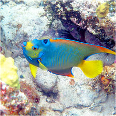 Angelfish and butterflyfish collection