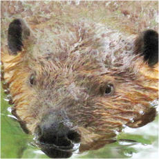 Beaver and muskrat collection