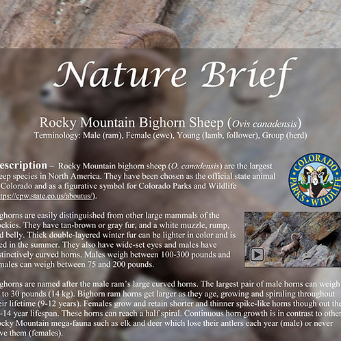 2020 Nature Brief on Bighorn Sheep