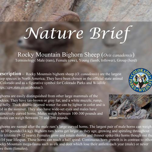 Bighorn Sheep Nature Brief