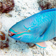 Parrotfish collection