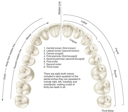 Virtual teeth in occlusion - blueskyplan software