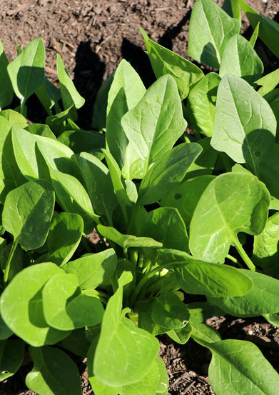 Baby Spinach Bunch