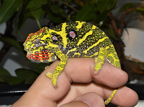 Lesser Chameleon (Furcifer minor)