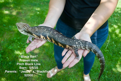 Pitch Black adult male Northern blue tongue skink