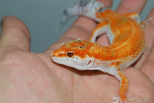 Leopard Gecko (Extreme Tangerine Enigma 1)