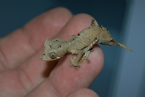 Spearpoint Leaftail Geckos (Uroplatus ebenaui)