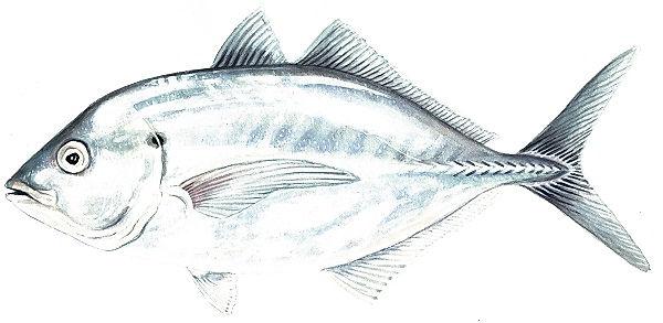 Silver Trevally Pseudocaranx spp.