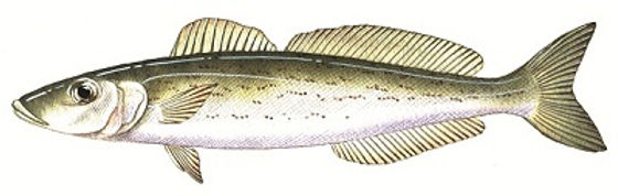 king george whiting, Sillaginodes punctata