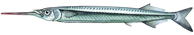Hemiramphidae
