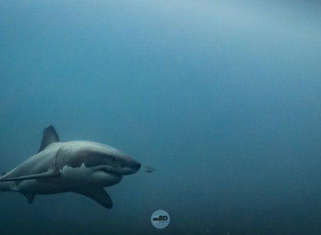 Great White Shark Tour