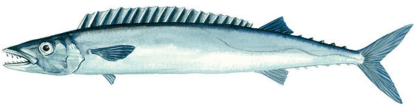 barracouta, thyrsites atun