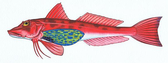 Gurnard, Triglidae