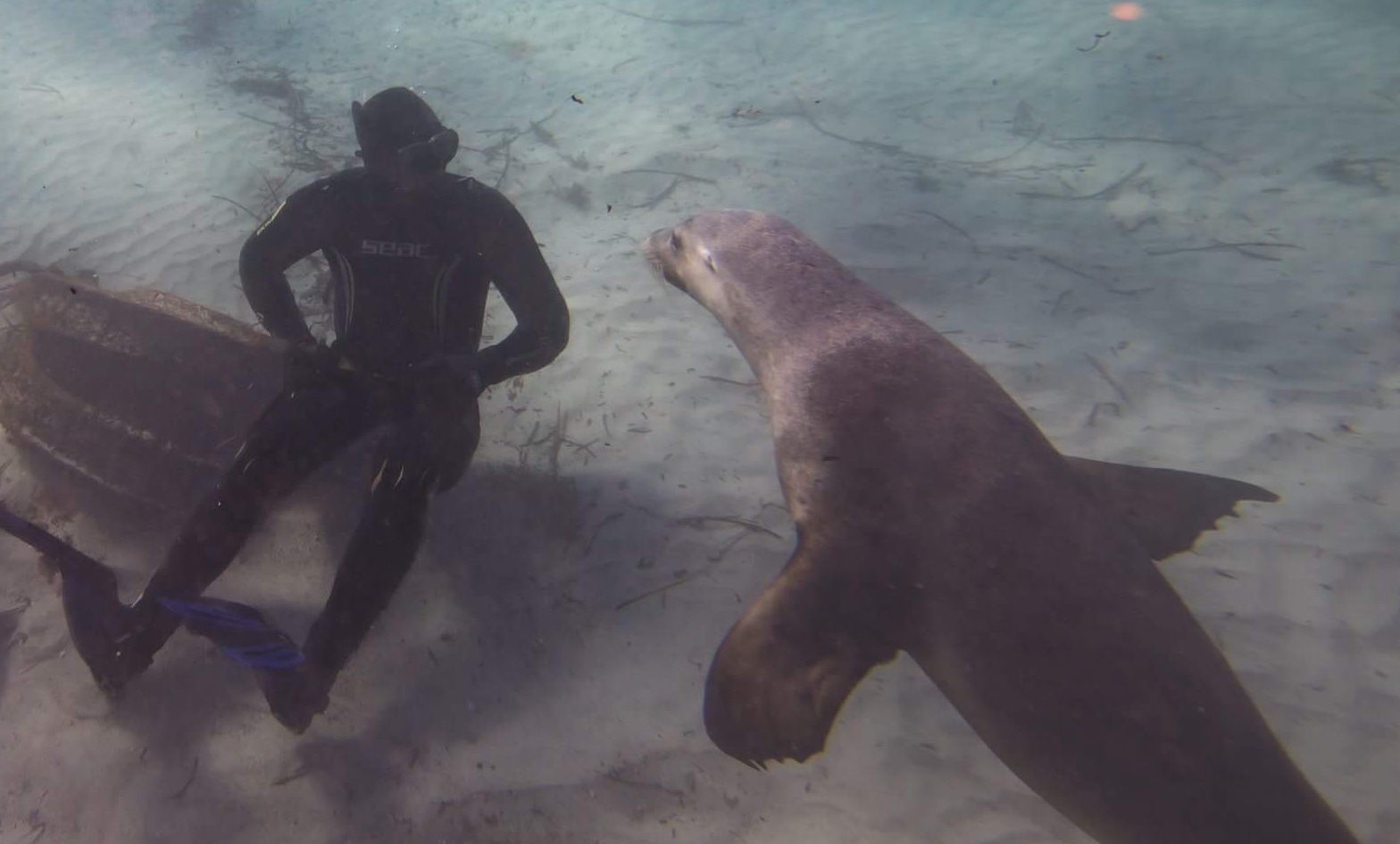 Staring back at a Sea-Lion