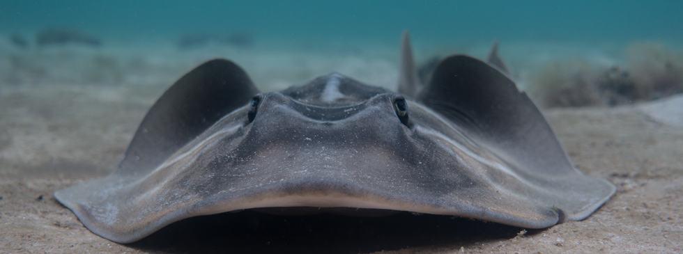 Banjo Shark
