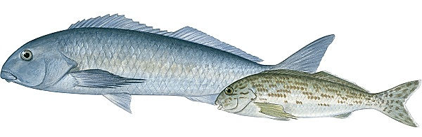 Cheilodactylidae