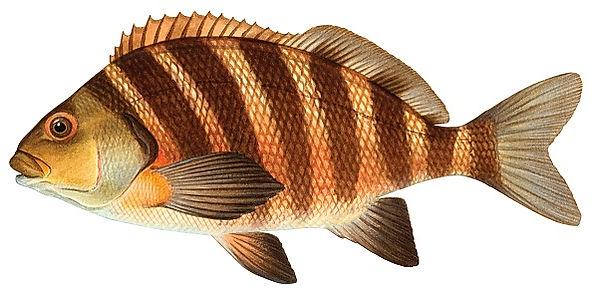 banded morwong Cheilodactylidae