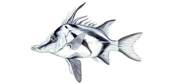 Boarfish, Pentacerotidae