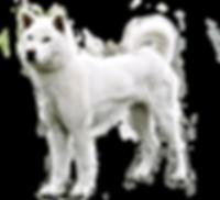 kishu-dog-kishu-ken-pinterest-dog-dog-br