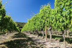 Les vignes l'été