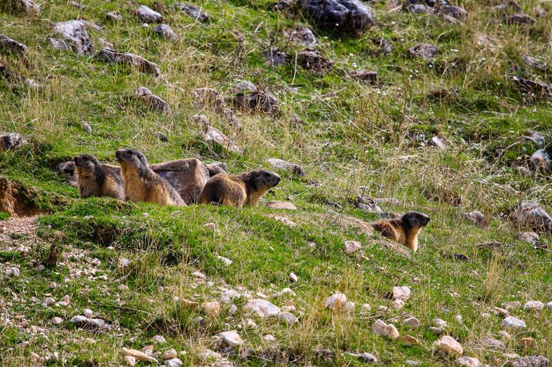 Marmottes sur les hauts plateaux du Vercors