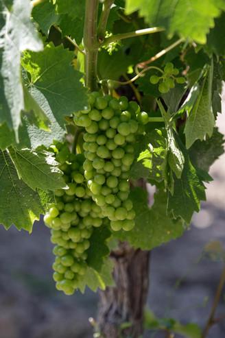 Les raisins en début d'été