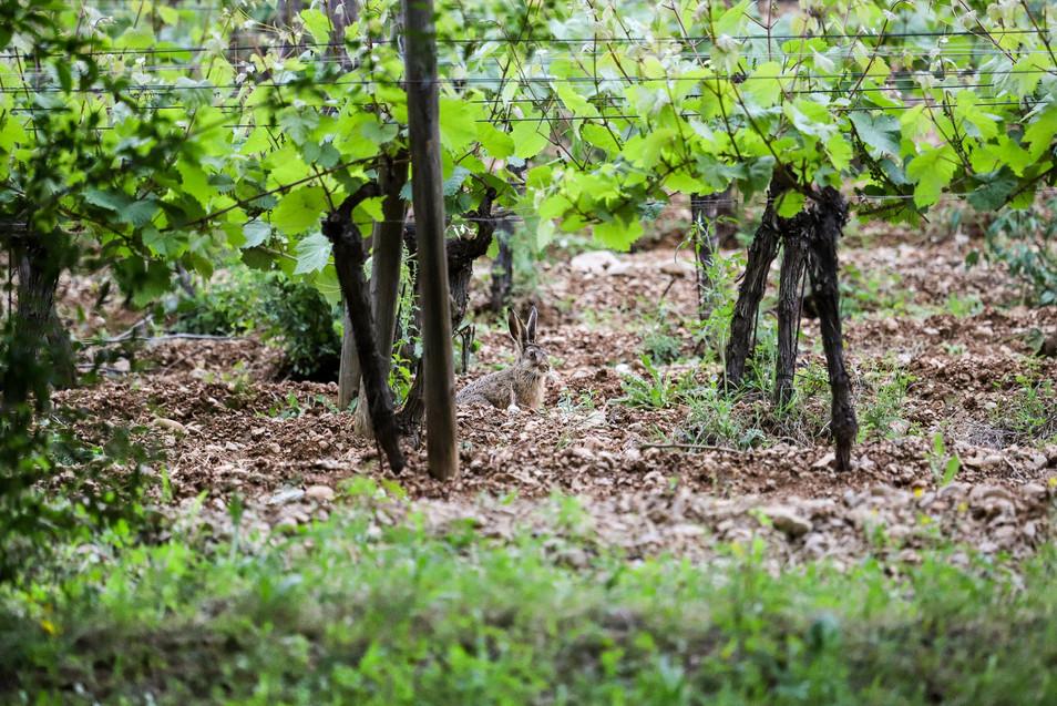 Lièvre dans les vignes
