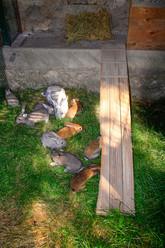 1ère sortie des bébés lapins dans leur parc extérieur