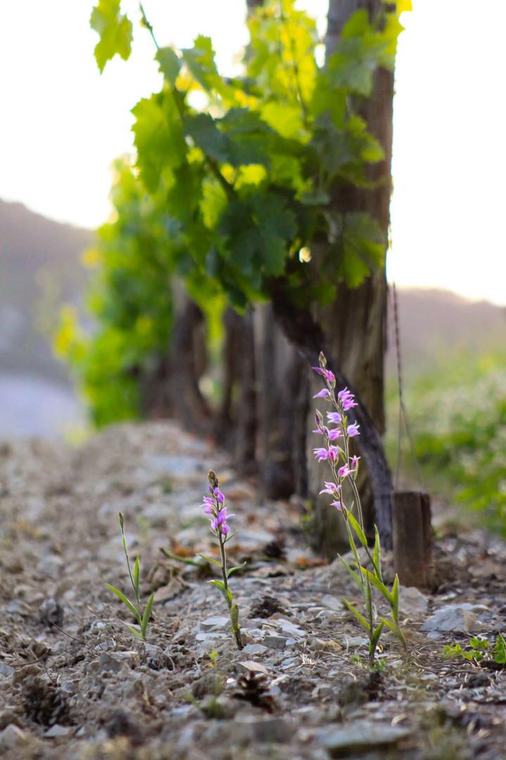Céphalanthère rouge au pied des vignes